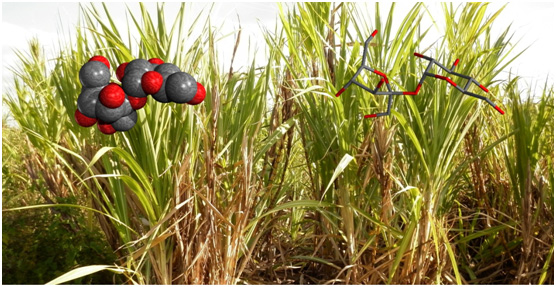 Sugar cane plantation with sucrose molecules.