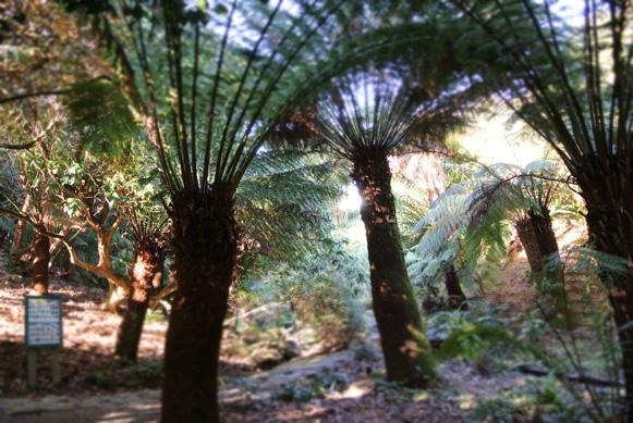 Tree ferns at Trebah Garden in Cornwall